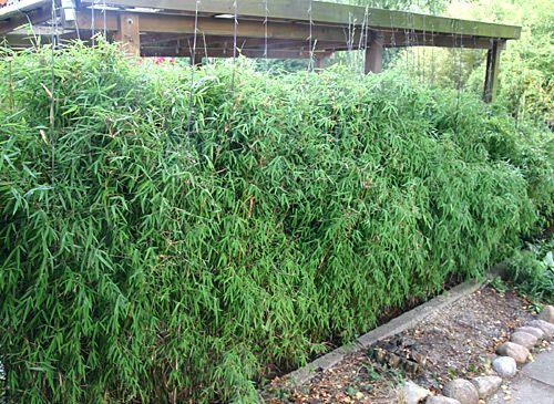 bambus-pflanzenshop - bambushecken ohne ausläufer / sichtschutz, Garten Ideen