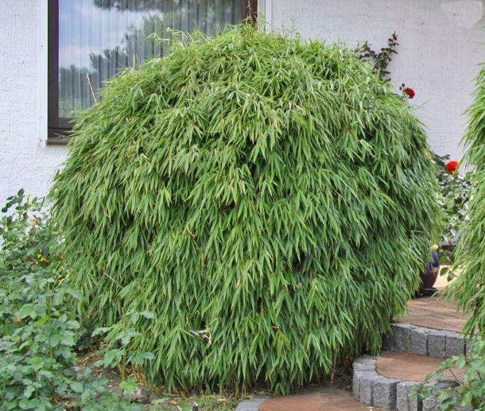 Bambus Pflanzenshop Bambusinformation